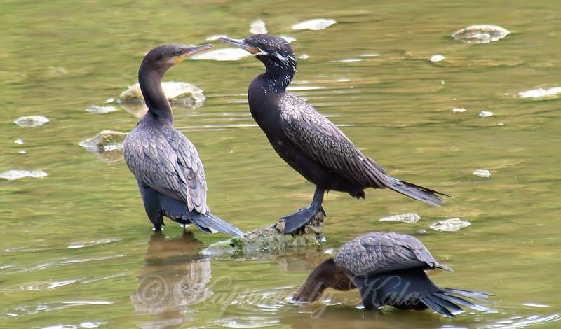 Neotropic Cormorant Family Part 2