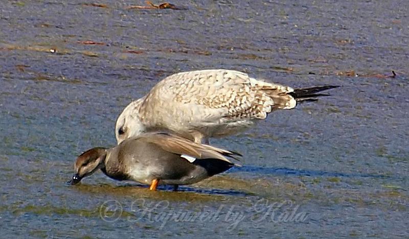 Herring Gulls Are Bigger Than Gadwall Ducks