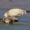 Herring Gulls Are Bigger Than Gadwall Ducks