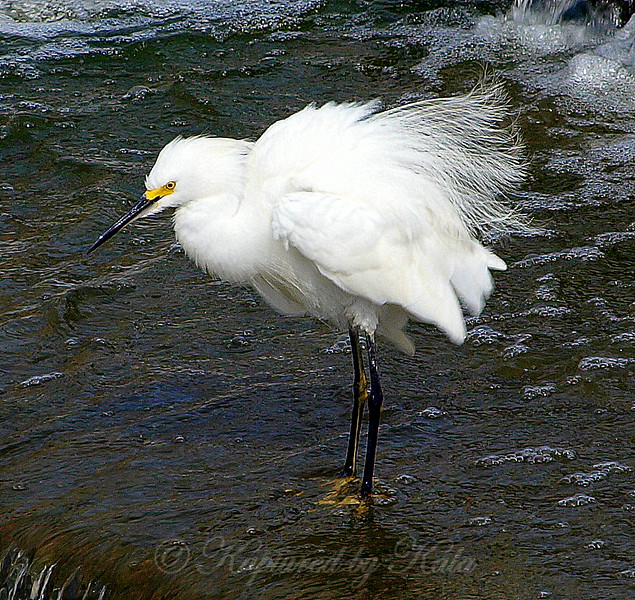 My First Snowy Egret View 2