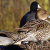 Mrs Pintail