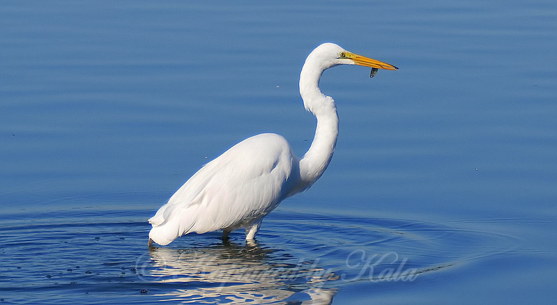 Great Egret With A Snack