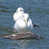 Sinister Looking Herring Gull With A Ring-billed Henchman