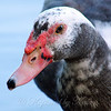 Muscovy Checking Me Out