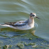 Juvenile Red Phalarope View 4