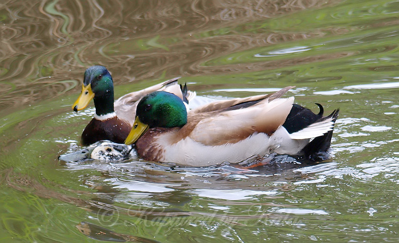 Mallard Mating Behaviors Part 4