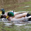 Mallard Mating Behaviors Part 4