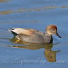 Peaceful Gadwall View 2