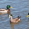 Mallards Are Bigger Than Wigeons