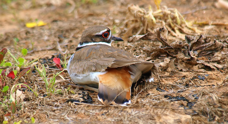 Up Close & Personal With a Killdeer