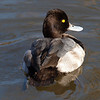 Rear View of a Lesser Scaup