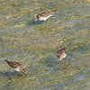 Least Sandpipers On The Spillway