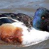 Aggressive Male Northern Shoveler