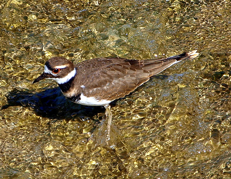 Killdeer On Golden Water View 1 of 2