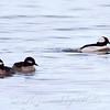 Trouble In Bufflehead Paradise
