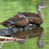 Juvenile Wood Duck Siblings