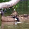 A Pair Of Blue-winged Teal