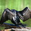 Headless Cormorant