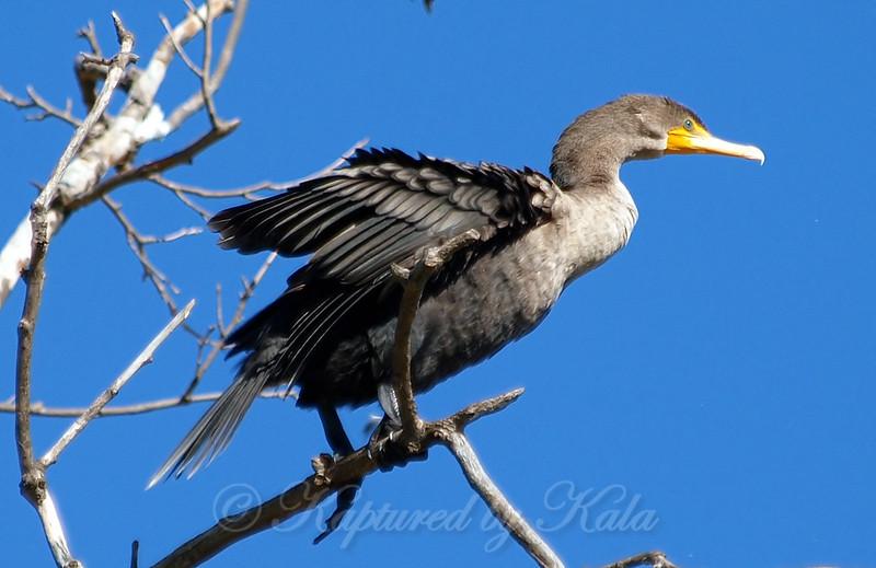 Cormorant Above My Head