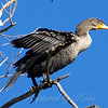 Cormorant Above My Head