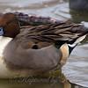 Puffer Duck View 1