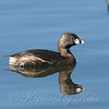 Pretty Little Pied-billed Grebe