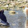 Egret & Cormorant