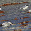 Franklin's Gulls On The Spillway