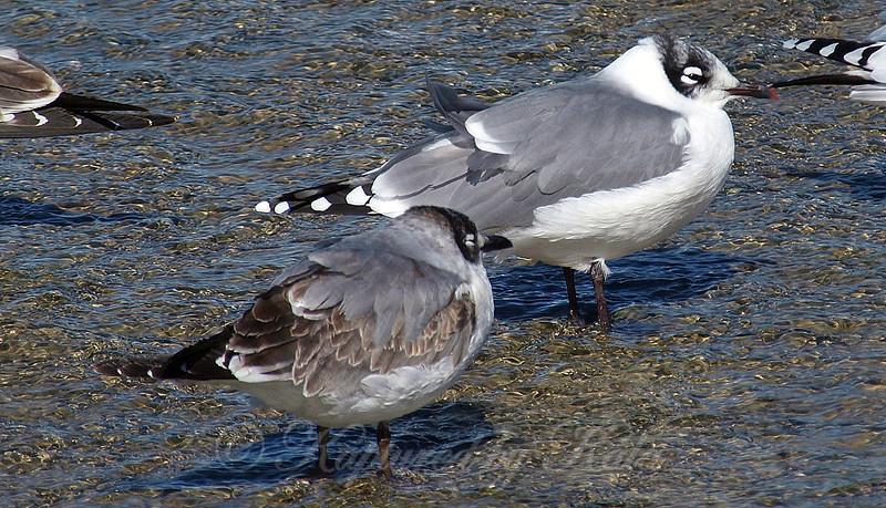 Franklin's Gull Comparison