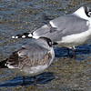 Franklin's Gull Comparison