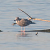 First Winter Herring Gull In The Bay