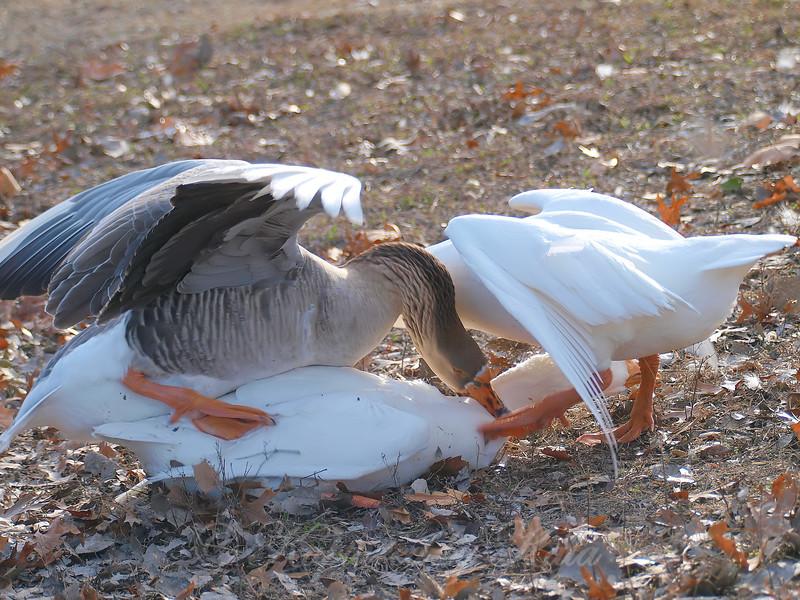 Goose Mating Season 2