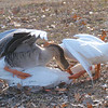 Goose Mating Season 2