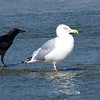 Herring Gulls Are Bigger Than Crows