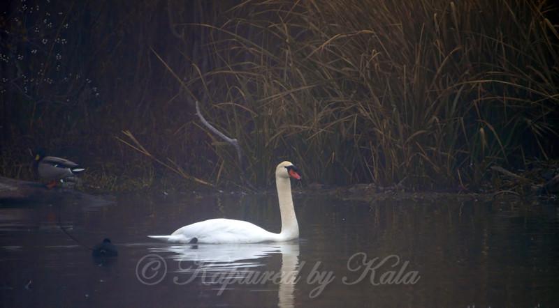 Swan Fog