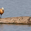 Ruddy Shelduck View 11