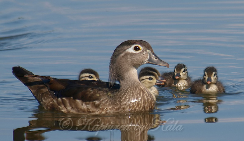 Protective Mama Wood Duck
