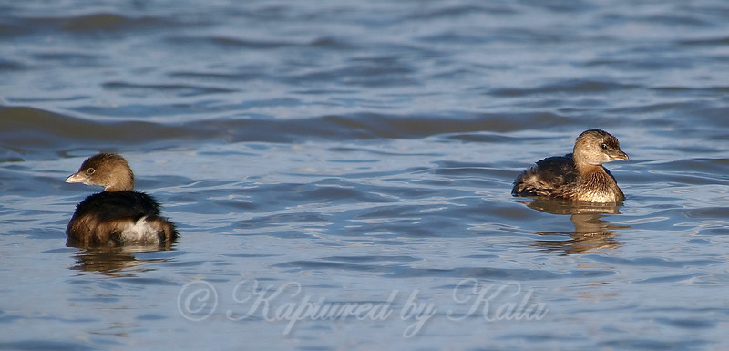 Grebes Coming And Going