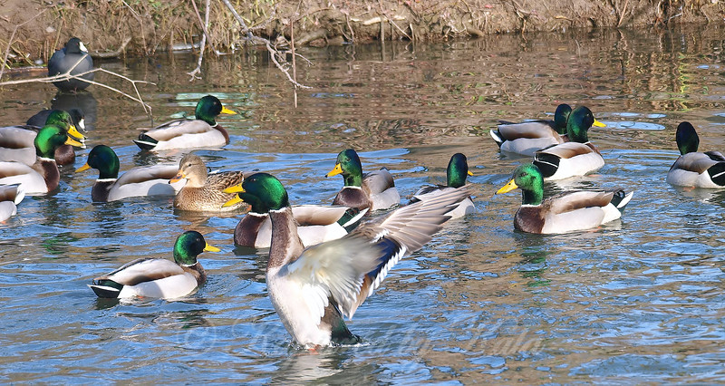 A Medley Of Mallards