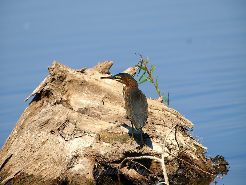 Close Encounter With A Green Heron Part 8