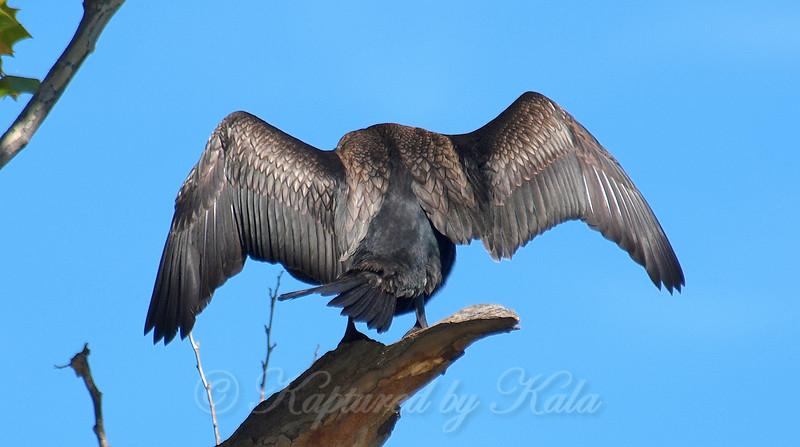 Spooky Cormorant