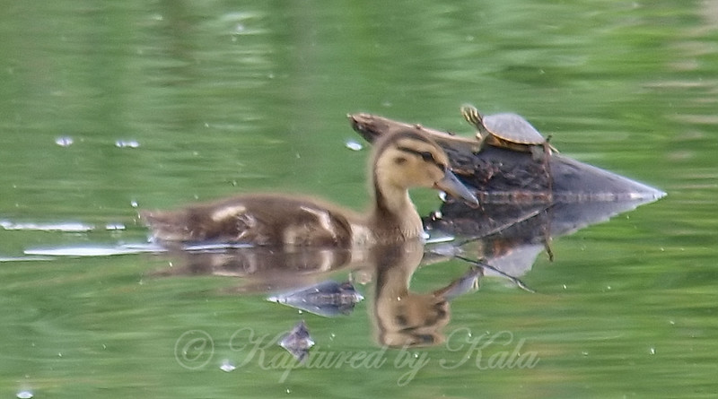Baby Teal Meets Baby Cooter