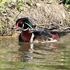 The Wood Ducks Are Back