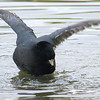 Mating Coots 3 of 8