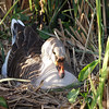Female African Goose Sitting on Her Nest