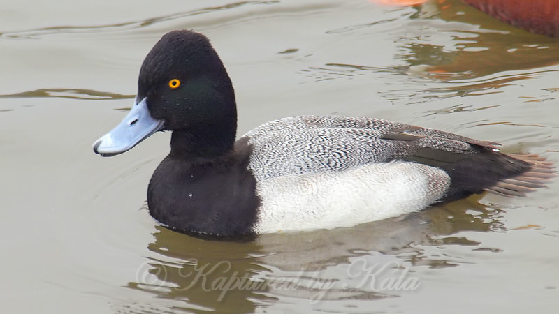 Smiling Scaup