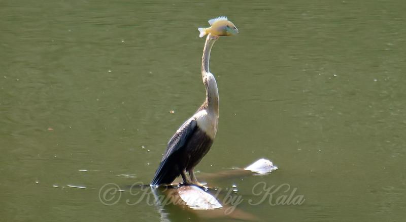 Fish Head Bird