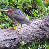 Juvenile Green Heron Hunting On Its Own Now