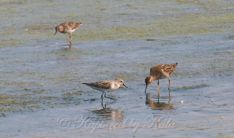 My First Semipalmated Sandpiper