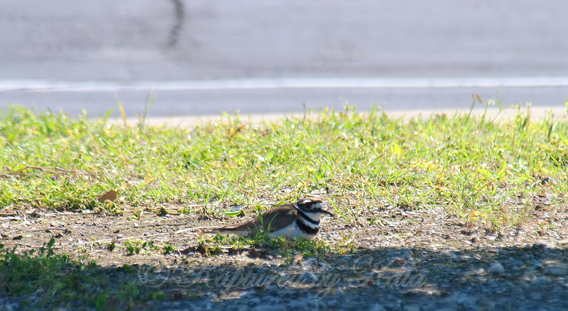 Nesting in the Middle of a Parking Lot